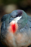 Bleeding Heart Pigeon Stock Image