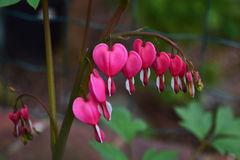 Bleeding heart plant Royalty Free Stock Image