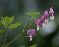 Bleeding Heart Plant. Cultivated, from a garden Stock Image