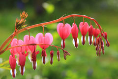 Bleeding heart plant, full bloom Royalty Free Stock Image