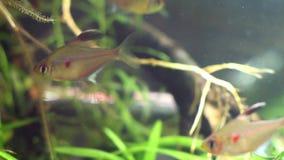 Bleeding heart tetra, Hyphessobrycon socolofi, wild freshwater fish from Barcelos, Rio Negro show natural behavior in biotope aqua. Rium footage stock video