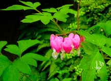 Bleeding Heart Valentine Flower. Dicentra spectabilis also known as Venus`s car, bleeding heart, or lyre flower. This elegant plant Dicentra spectabilis has many Stock Images