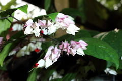 Bleeding heart vine. Clerodendrum thomsoniae Common name bleeding heart vine Stock Image