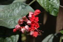 Bleeding Heart Vine (Clerodendrum thomsoniae) Stock Photography
