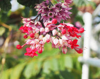 Bleeding Heart Vine flower Royalty Free Stock Photography