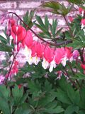 Bleeding Heart Vine Stock Images