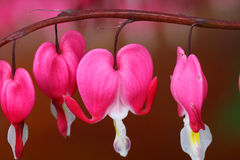 Bleeding Hearts Royalty Free Stock Photo