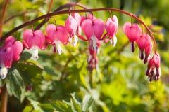 Bleeding hearts Royalty Free Stock Photos