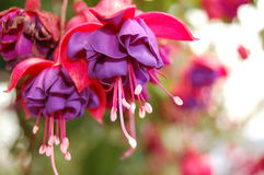Bleeding Hearts Stock Image