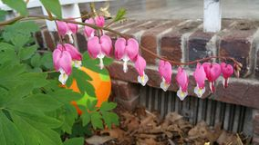 Bleeding hearts Stock Images