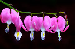 Bleeding hearts in bloom Royalty Free Stock Photography