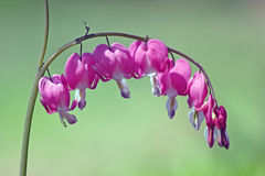 Bleeding Hearts Royalty Free Stock Photo