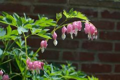 Bleeding Hearts. Delicate blossoms of Lamprocapnos spectabilis, commonly known as the bleeding heart flower, against a brick background in a garden Stock Photography
