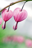 Bleeding Hearts - Dicentra spectabilis Stock Images