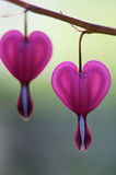 Bleeding Hearts - Dicentra spectabilis Royalty Free Stock Images