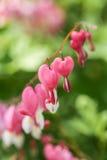 Bleeding Hearts Flower Garden Plant Royalty Free Stock Image