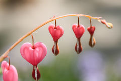 Bleeding Hearts Flowers In Home Garden Royalty Free Stock Photo