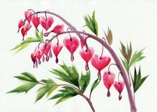 Bleeding hearts flowers Stock Images