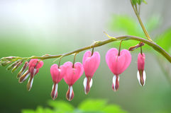 Bleeding Hearts on a Foggy, Misty Morning Stock Photography