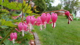 Beautiful Row of Bleeding hearts in the garden. In springtime Stock Photography
