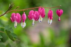 Bleeding Hearts. Gorgeous Bleeding Heart flowers after a freshly rain royalty free stock photos