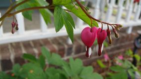 Bleeding hearts Royalty Free Stock Images