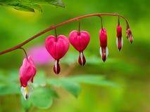 Bleeding Hearts - Lamprocapnos-spectabilis Royalty Free Stock Photo