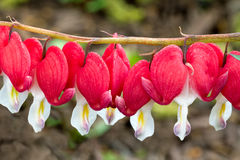 Bleeding Hearts in a Row Royalty Free Stock Image