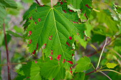 Bleeding Leaf royalty free stock photos