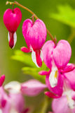 Bleeding pink Heart Flowers (Dicentra spectabilis or Lamprocapnos spectabilis) Royalty Free Stock Image