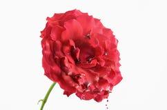Bleeding rose Stock Photography