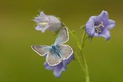 Bleek blauwtje, Chalk-hill Blue, Polyommatus coridon stock photo