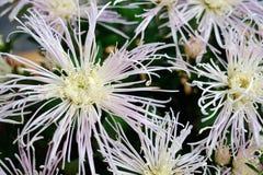 Bleek - roze chrysant Royalty-vrije Stock Foto's