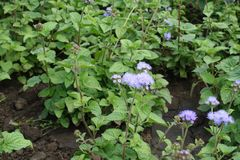 Bleek viooltje flowerheads van Ageratum-houstonianum royalty-vrije stock afbeelding
