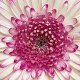 Bleek wit en violet madeliefje Gerber Stock Foto