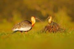 Bleekgeel-necked Ibis, Theristicus-caudatus, exotische vogel in de aardhabitat, vogelzitting in gras met het mooie licht van de a Royalty-vrije Stock Fotografie