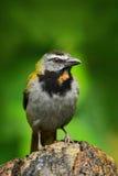 Bleekgeel-Throated Saltator, Saltator-maximus, exotische vogelzitting op de tak in de groene boskeerkring tanager in aardhabi stock foto's