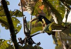 Bleeksnavelarassari, Aracari pâle-mandibled, erythr de Pteroglossus photo libre de droits