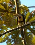 Bleeksnavelarassari, Aracari pâle-mandibled, erythr de Pteroglossus image stock