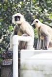 Bleiben indische monky weiße blaue Augen des schwarzen Gesichtes Affen Hanuman auf Baum stockbilder