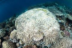 Bleiche Coral Colony lizenzfreie stockfotos