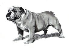 Bleistift-Zeichnung der Bulldogge Stockfoto