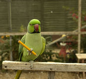 Bleistiftholding Papagei Stockfotos