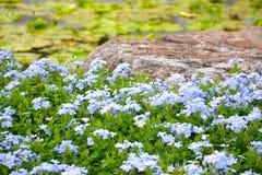 Bleiwurz Auriculata Stockbilder