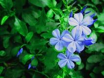 Bleiwurz Auriculata Stockbild