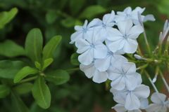 Bleiwurz auriculata allgemeine Namen blau Stockfotos