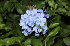 Bleiwurz auriculata, blaue Bleiwurz, Kap Leadwort Stockfotografie