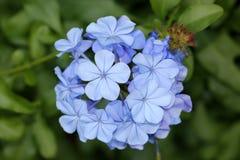 Bleiwurz auriculata, blaue Bleiwurz, Kap Leadwort Lizenzfreie Stockfotografie