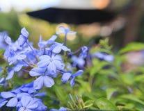 Bleiwurz auriculata Blumen-Unschärfehintergrund Lizenzfreie Stockfotos