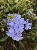 Bleiwurz auriculata oder blaue Bleiwurzblumen Stockfotografie
